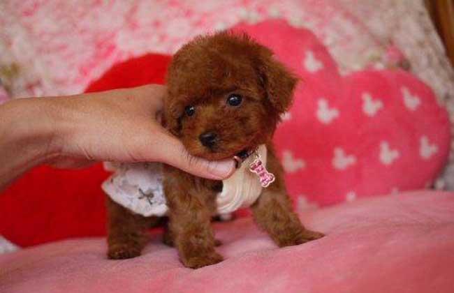 茶杯泰迪犬多少钱一只图片