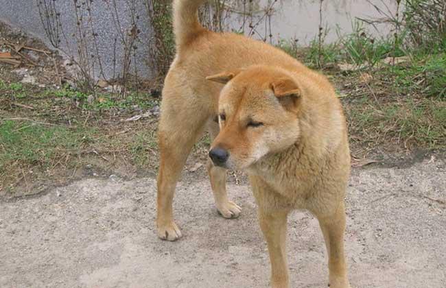 中华田园犬多少钱